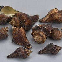 Barna csiga 4,5 - 7 cm