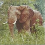 Szalvéta - Elefánt